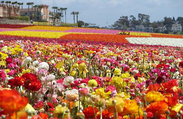 Carlsbad flowers