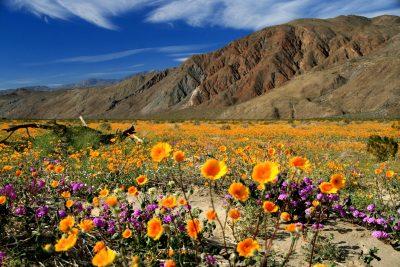 Wild Flowers in Anza-Borrego Desert State Park